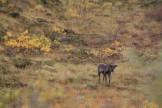 Wild Alaskan caribou